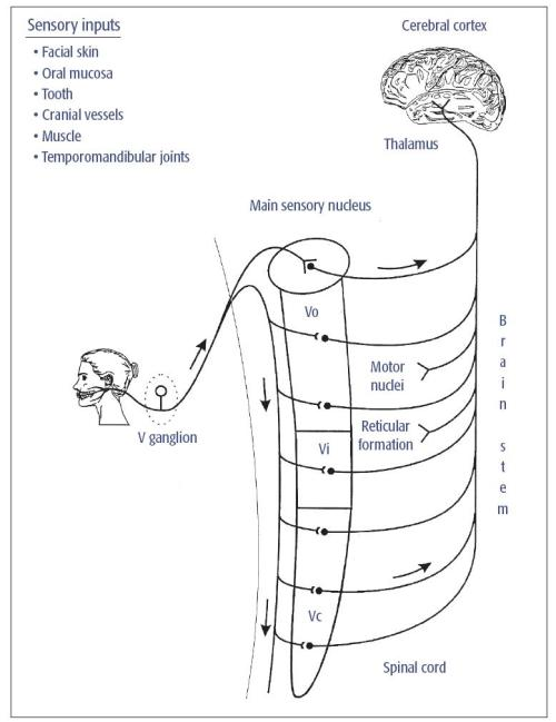 small resolution of fig 5 1 major somatosensory pathway from the mouth and face trigeminal v primary afferents have their cell bodies in the v ganglion and project to