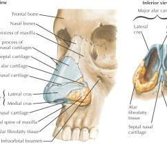 Facial Lymph Nodes Diagram Hyundai Excel Wiring Of Near Mouth Adrenal
