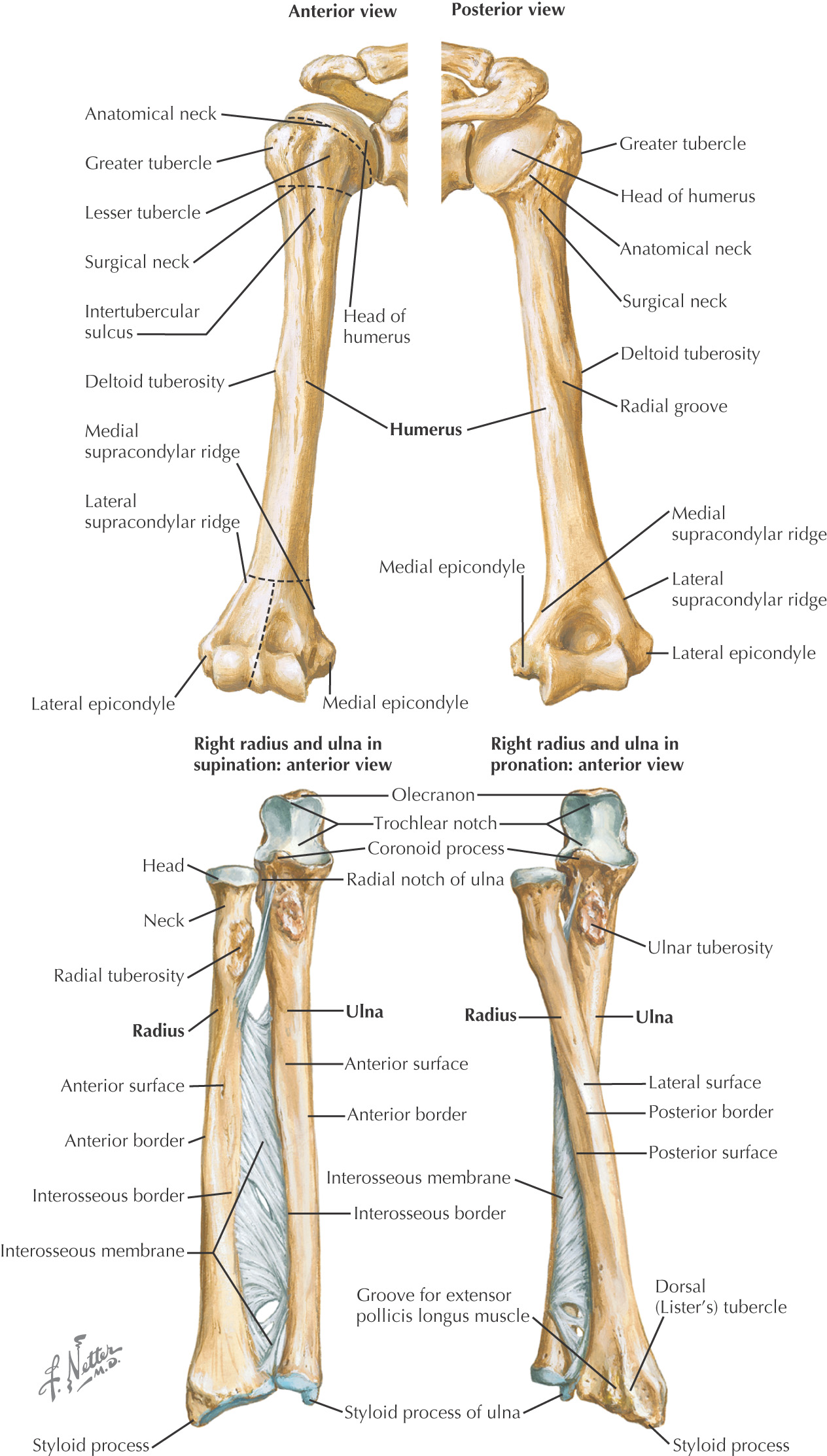 hight resolution of images carpal bones