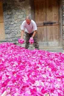 Gianfranco-nella-raccolta-delle-rose-ok