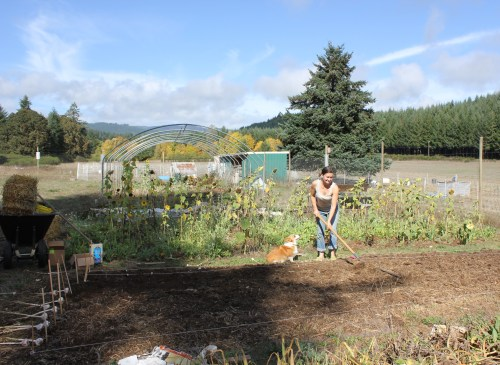 Planting garlic with Pocket the Corgi
