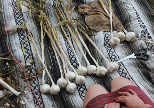 Birdsong Farm: HOW TO BRAID GARLIC