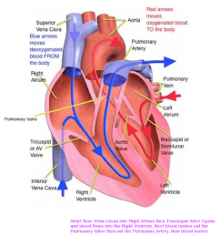 this diagram will be very useful as it provides a visual guide on how the blood flows via the heart and its major structures  [ 975 x 1225 Pixel ]