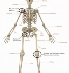 and can you guess what is wrapped around our bones to allow protection movement and strength muscles  [ 955 x 1267 Pixel ]