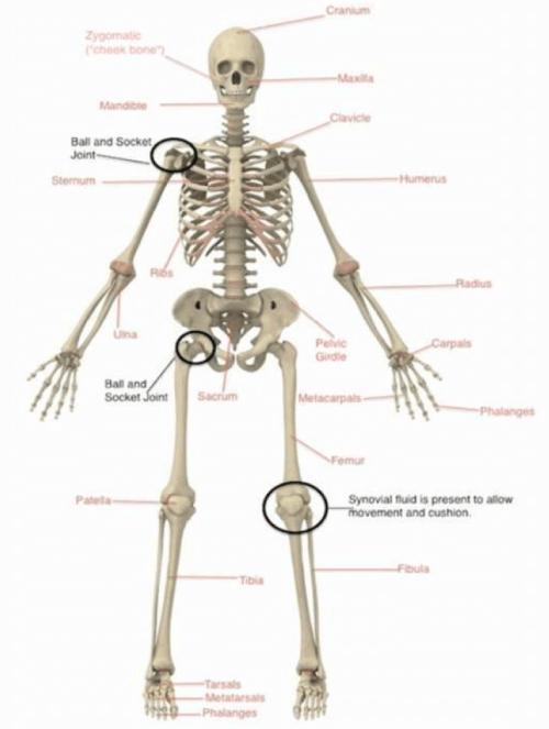 small resolution of and can you guess what is wrapped around our bones to allow protection movement and strength muscles