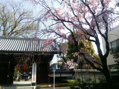 20150406 総持寺しだれ桜1