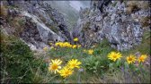 Omiegi kozłowce na Pośrednim Granacie (2234 m n.p.m.) - 23 lipca 2013