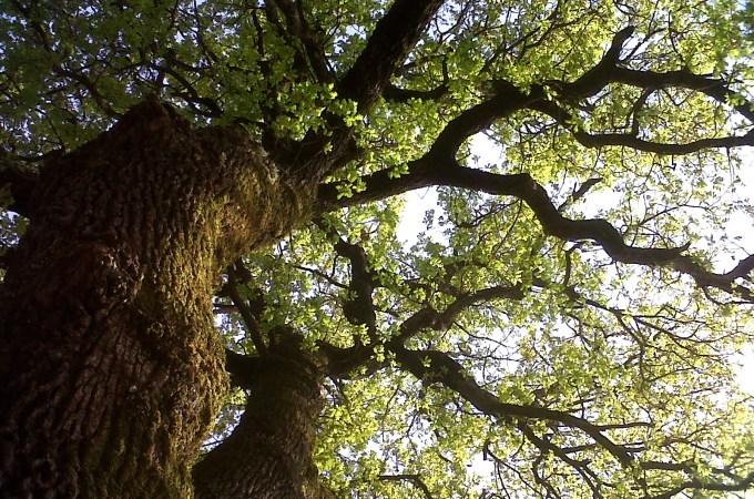 Osservare gli alberi: la quercia