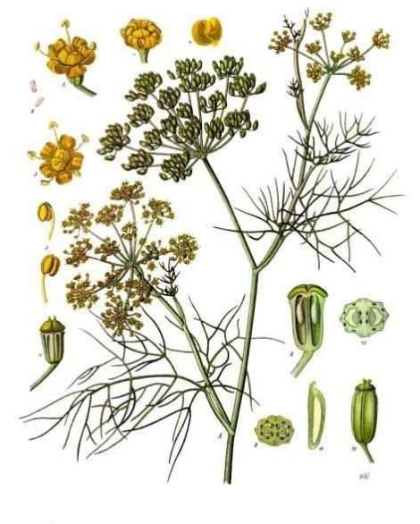Foeniculum_vulgare_-_K%C3%B6hler%E2%80%93s_Medizinal-Pflanzen-148