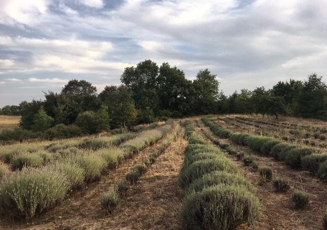 La raccolta e la distillazione della nostra lavanda bio 2017