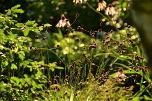 ogród cienisty Izy - lipiec; ogród w cieniu; krwiściąg;