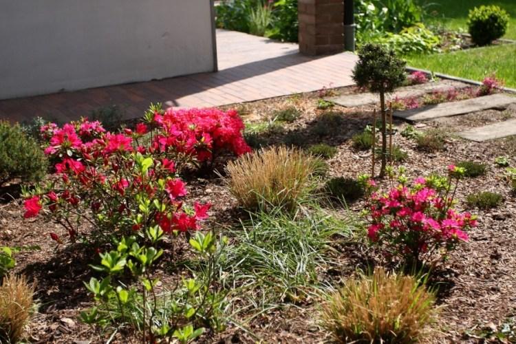 rozplenice i rododendrony w maju