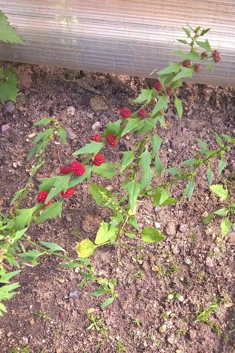Шпинат земляничный или шпинат малина