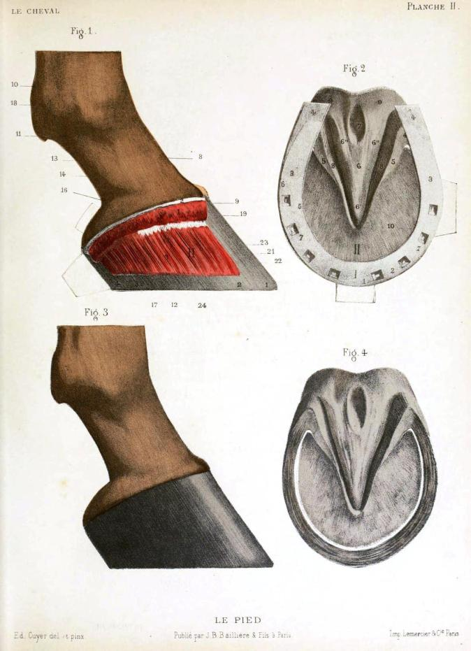 Animal-Horse-Hoof-anatomy