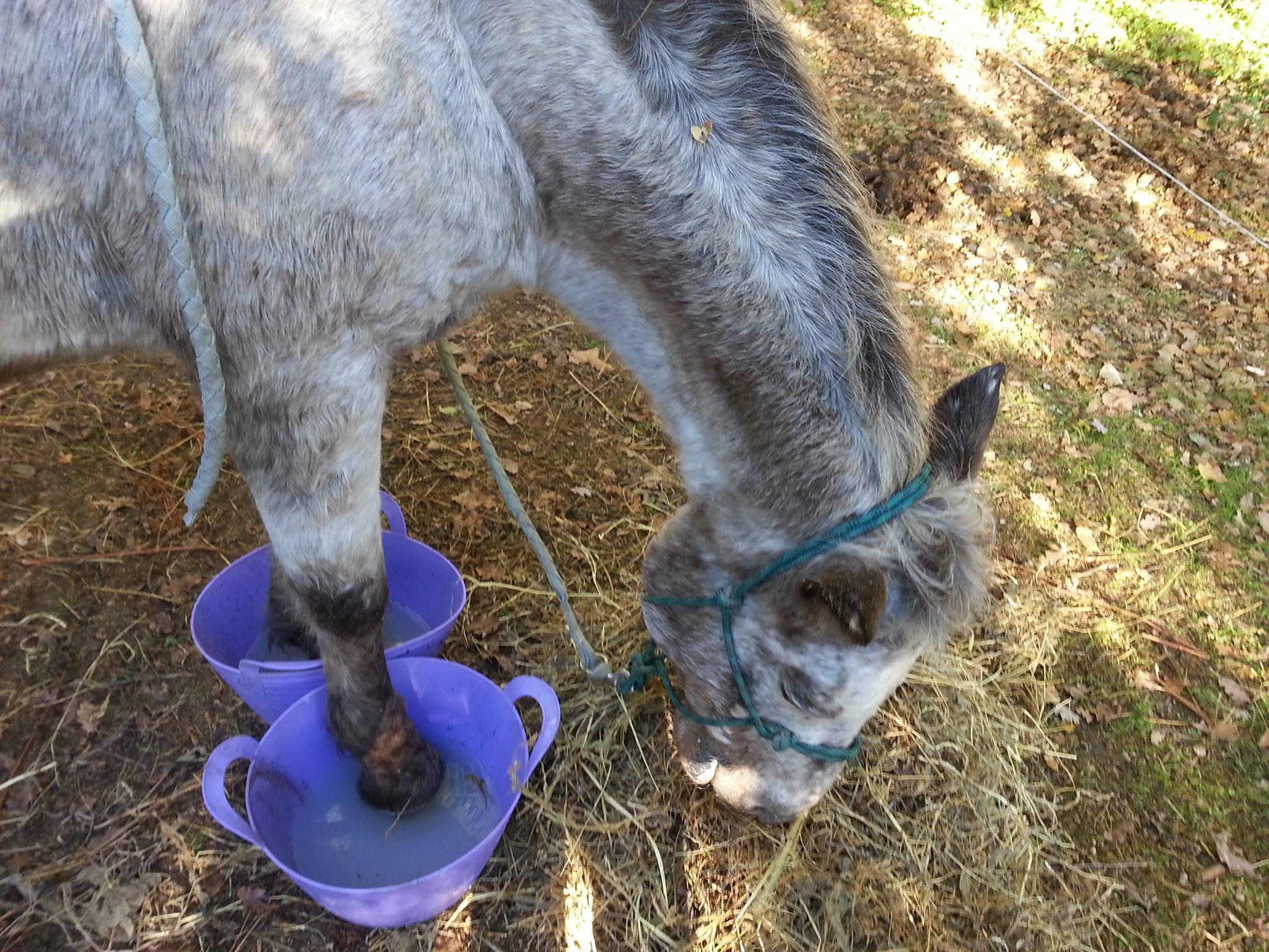 Les Abces Podologie Equine Libre
