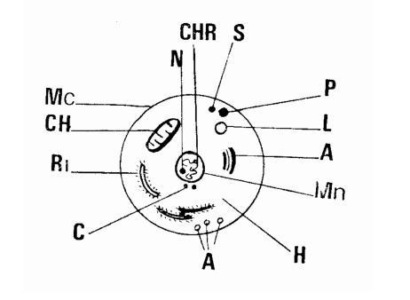 anatomie de la cellule