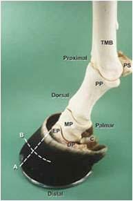 hoofbones
