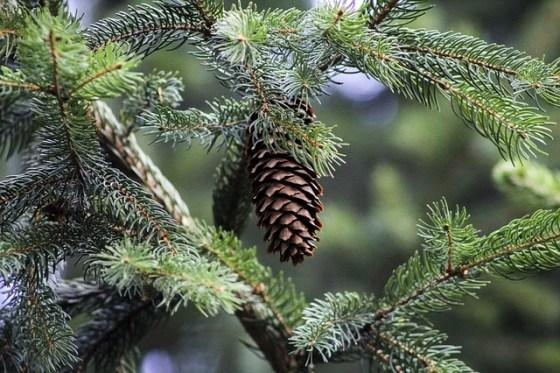 pine-398601_640