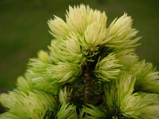 spruce-1684790_640