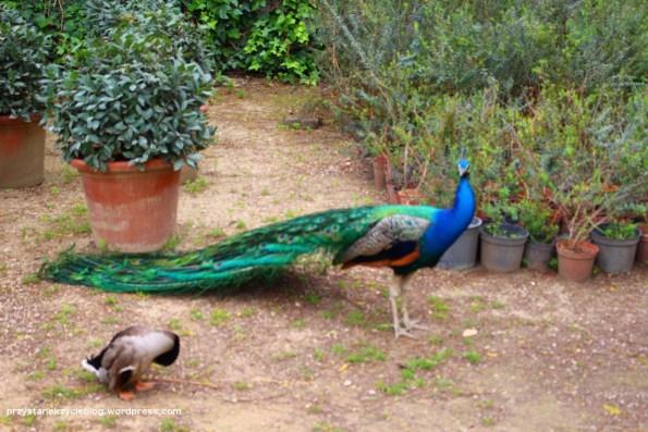 sevilla_alcazaba_peacock3