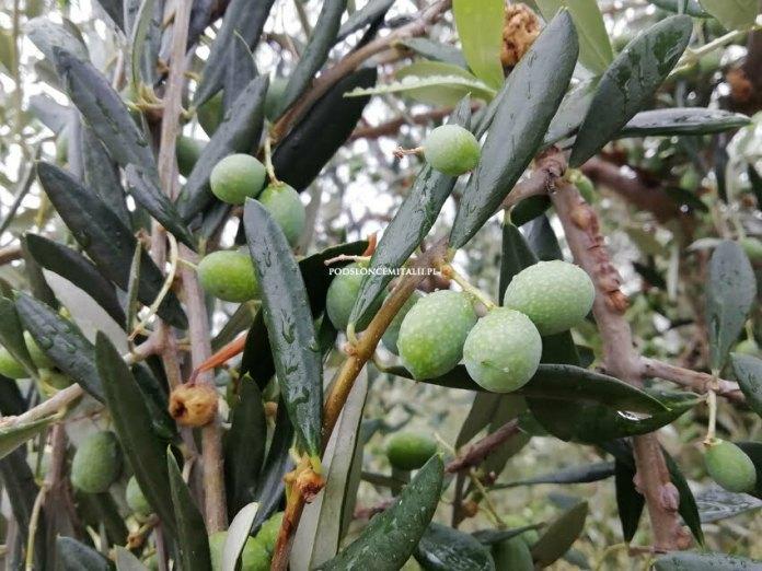 Oliwa z oliwek - śródziemnomorskie płynne złoto