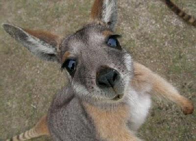 baby_kangaroo