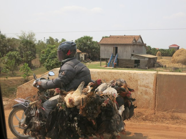 Cambodian chicken transport.