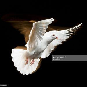 la paloma mensajera del amor