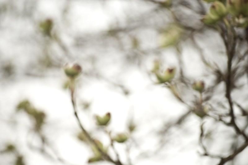 dogwood blur by Kelle Sauer