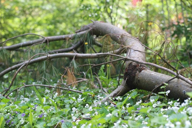 Fallen Pine Branch in Violets Field