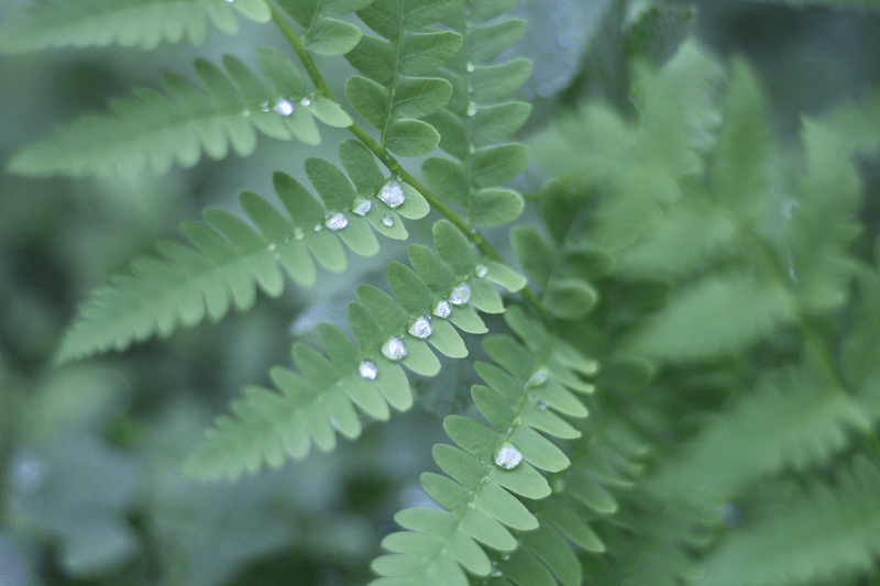 Fern-5 Rain Drop Line-3.1 by L.L. Barkat