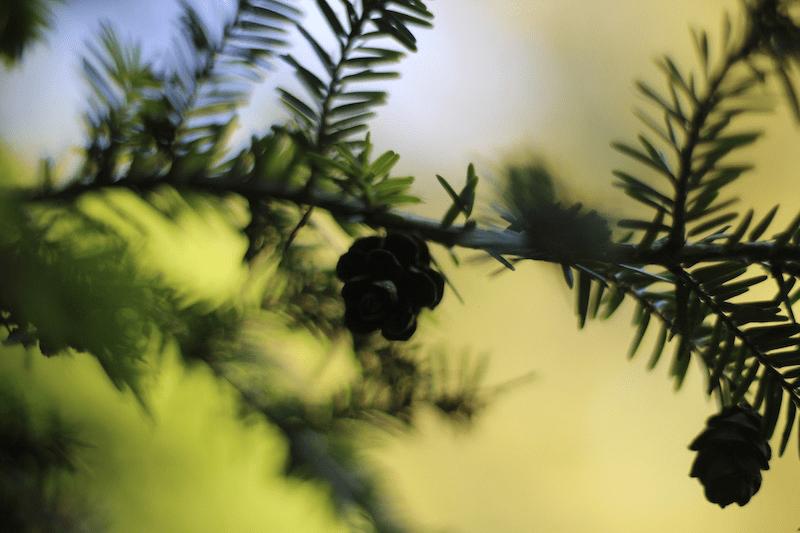 Hemlocks -Sunset Pine Frill by L.L. Barkat 7