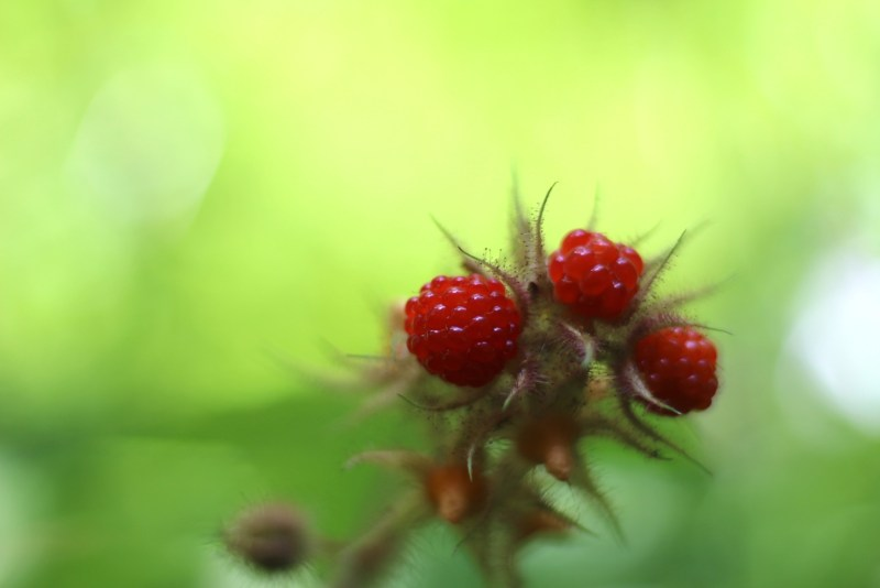 Wineberries-Berry 1-2