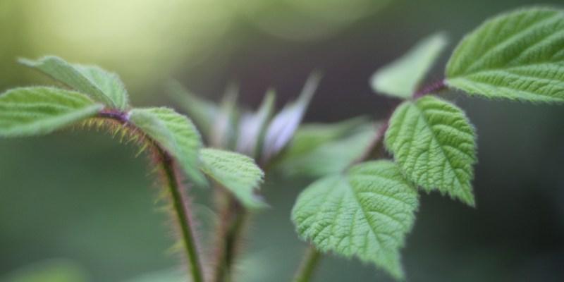 Wineberries in leaf 1