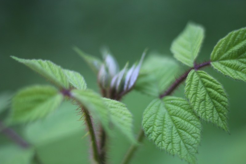 Wineberries in leaf 2