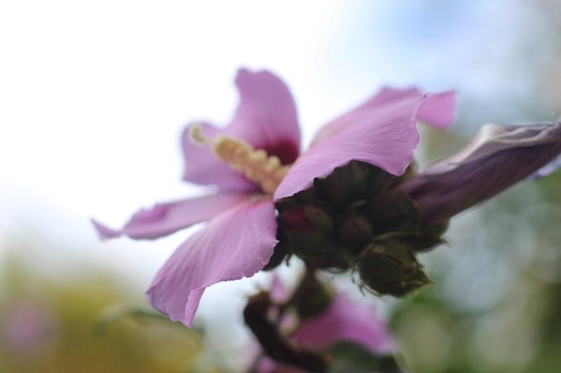 Rose of Sharon-7-flower