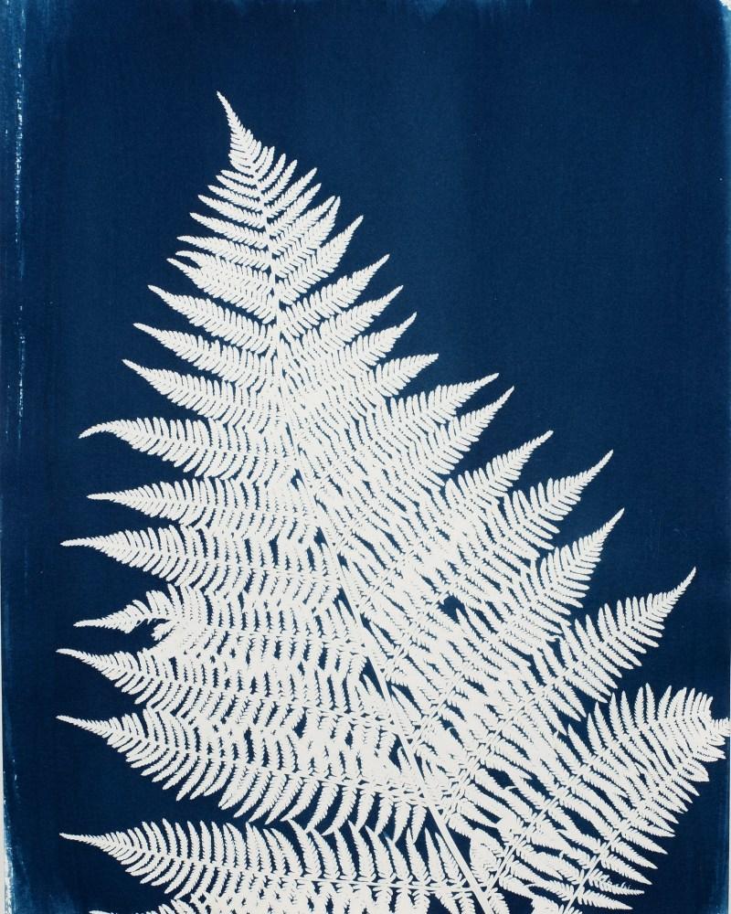swyers fern cyanotype print