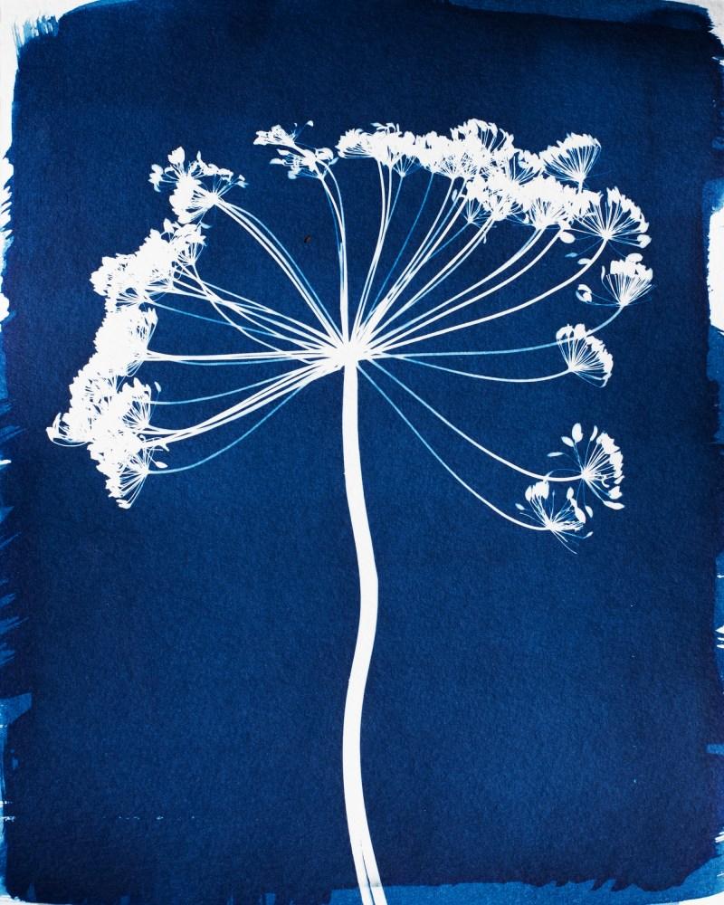 swyers fennel cyanotype print