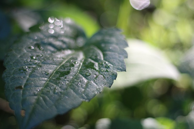 Brown Eyed Susan Leaf in Rain
