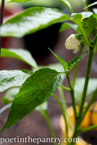 flowering pepper plant