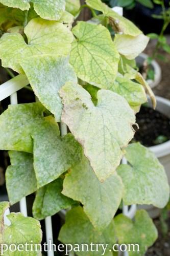 cucumber leaves