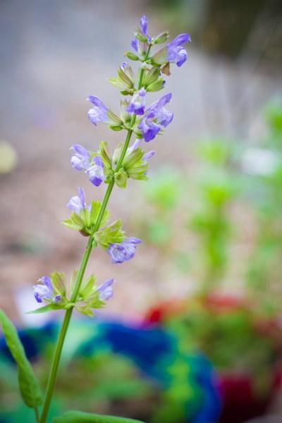 blossoming sage