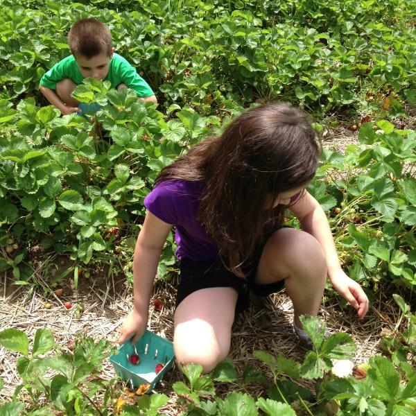 kids picking strawberries