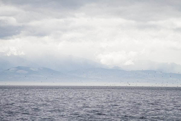 Island Adventures Whale Watching from Anacortes, Washington is a must for any traveler! The first bait ball revealed by a flock of birds. Beneath them: a fin whale, very rare for the area.