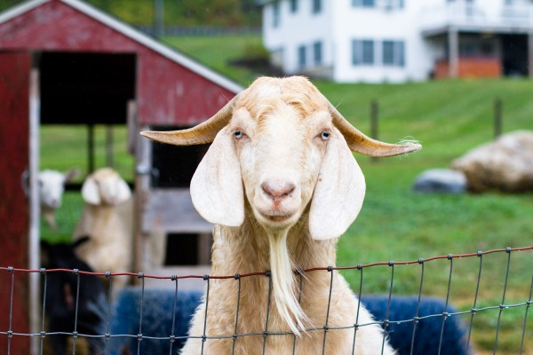 goat at Laurelbrook Farm during Cabot Open Farm Sunday 2016