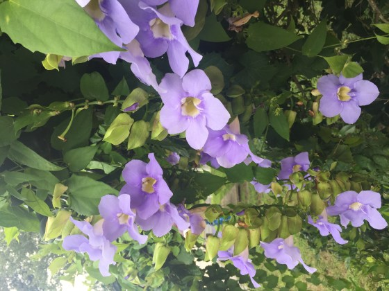 Purple Blue Clematis