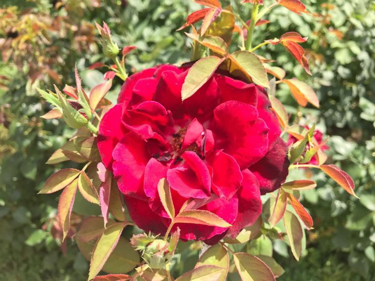 Zoomed photo of Red rose