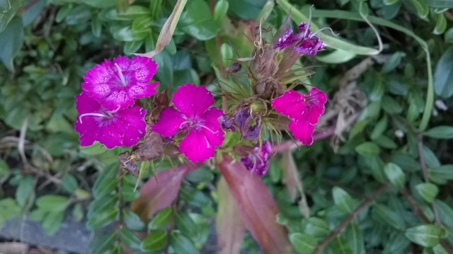 zoomed picture of purple smal carnation wild flower