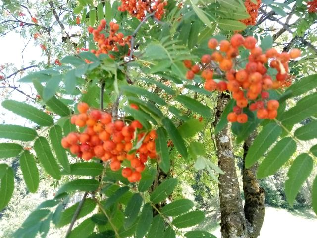 photo of tree with bunch of orange berries