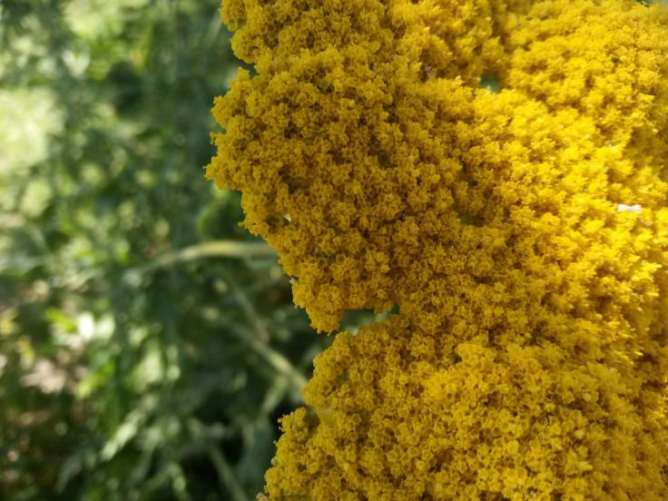 close-up photo of a yellow flower maybe helychrisium